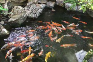 Mẫu hồ cá koi sân vườn ngoài trời đẹp nhất hiện nay 2