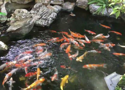 Mẫu hồ cá koi sân vườn ngoài trời đẹp nhất hiện nay 11