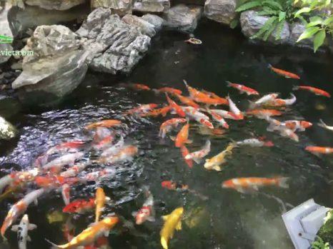 Mẫu hồ cá koi sân vườn ngoài trời đẹp nhất hiện nay 1