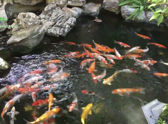 Mẫu hồ cá koi sân vườn ngoài trời đẹp nhất hiện nay 7
